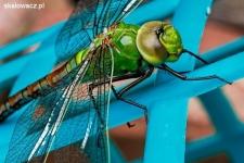 Jakie owady żyją w wodzie?